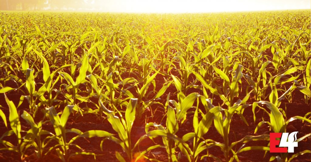 E4 Crop Intelligence conducted a study on the effects of uneven corn emergence.